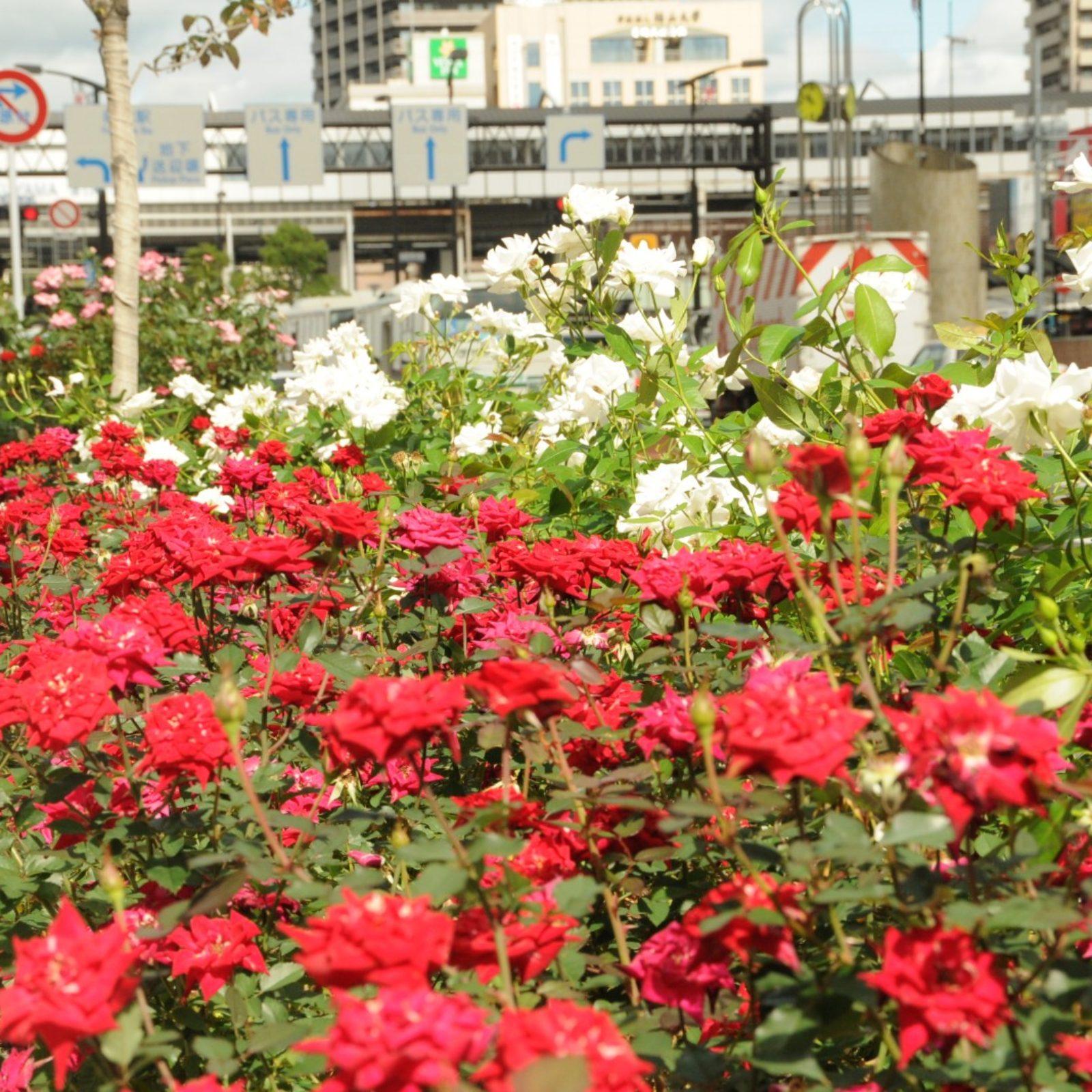 秋のばら(駅前)